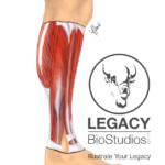Leg Muscle Study
