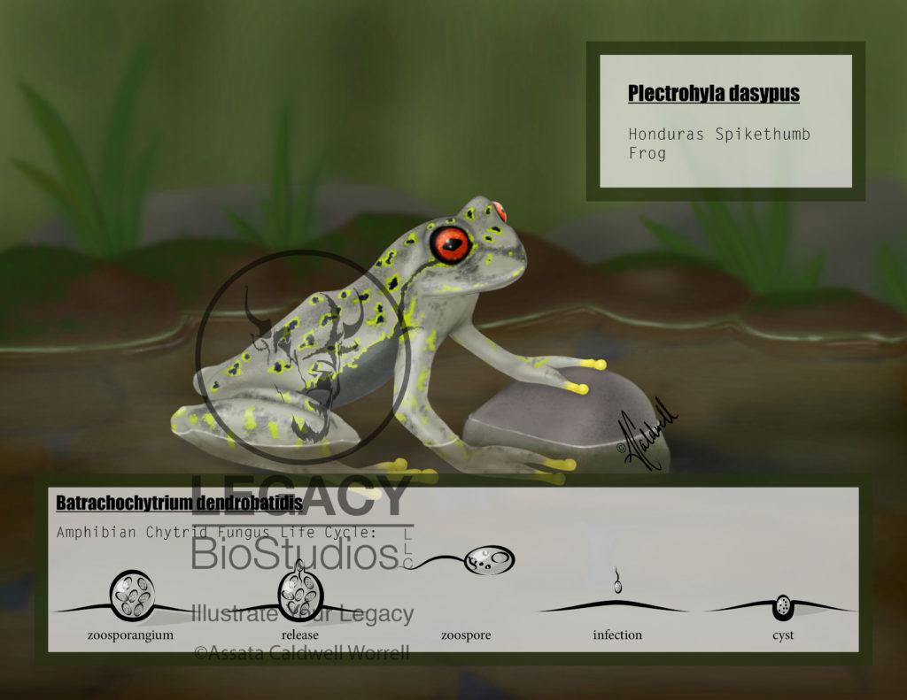 Honduras Spikethumb Frog - Plectrohyla dasypus